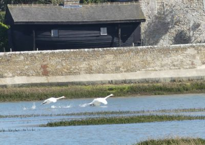 © Tony Guest Pagham Swans